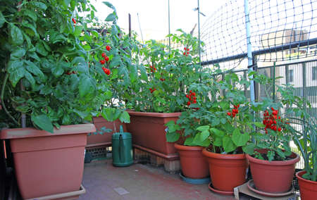 many potted red  TOMATO plants on the terrace of the House in the city photo