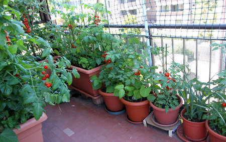 fantastic growing TOMATOES on the terrace of the apartment building in the city Banco de Imagens