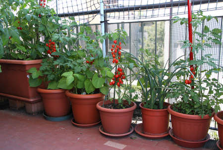 red tomato plants on the terrace of the apartment in the city photo