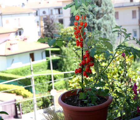ミニ市-アパートメントのテラスのバルコニー上の鍋で赤いトマト