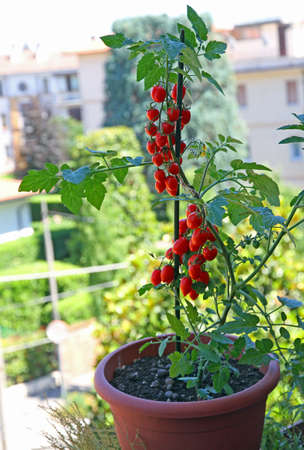 vase with cherry type tomatoes grown on the balcony of the House
