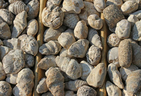 paleontologist: series of ancient fossils of shells for sale in a shop for collectors
