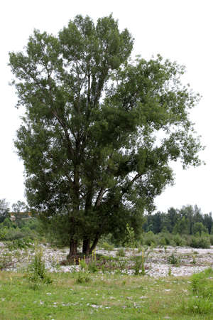 poplar  banks: isolated Aspen on the banks of the brenta River, near Bassano del grappa