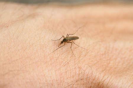 sucks: tremendous mosquito sucks blood from the arm