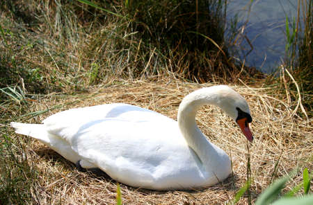 brooding: white Swan female in the nest while brooding her eggs