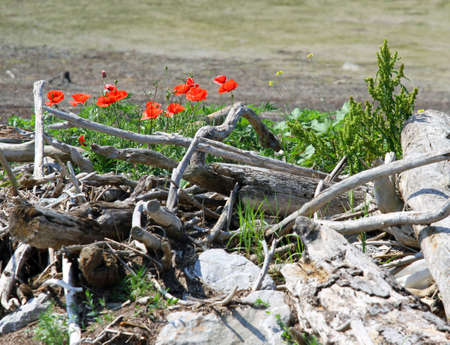 dead tree dry and Red tulips on the shore of a mire photo