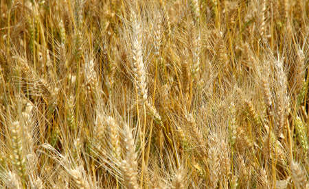 starchy food: Yellow ripe wheat stalks are ready to be harvested in summer Stock Photo