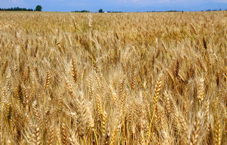 starchy food: Yellow ripe wheat stalks are ready to be harvested