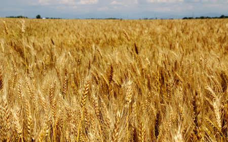 starchy food: huge mature yellow field of wheat stalks are ready to be harvested Stock Photo