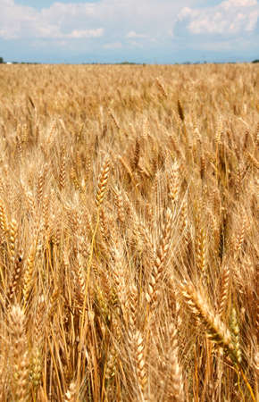starchy food: huge field of ripe wheat stalks are ready to be harvested in summer