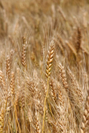 starchy food: Yellow ripe wheat stalks are ready to be harvested in summer 3 Stock Photo