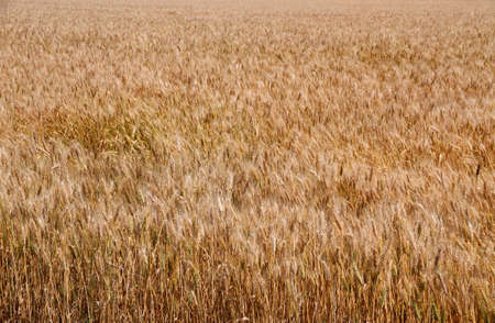 starchy food: Yellow ripe wheat stalks are ready to be harvested in summer 2