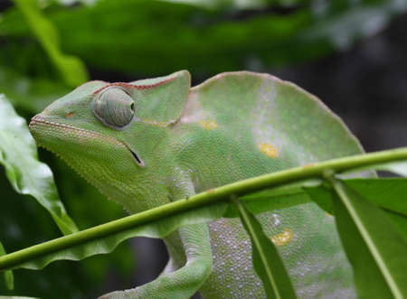 midst: Chameleon camouflages itself in the midst of the green leaves of the rainforest Stock Photo