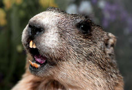 Groundhog with sharp snout and teeth while whistling