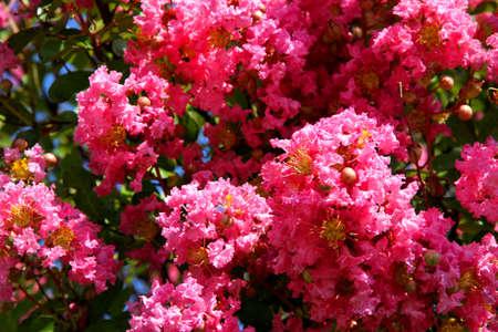 flores fucsia: Bush flores fucsias en verano en el jard�n