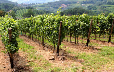 beautiful vineyards in the countryside of Tuscany in Italy Banco de Imagens