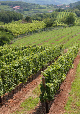 rural country landscape with vineyards loaded with bunches of grapes