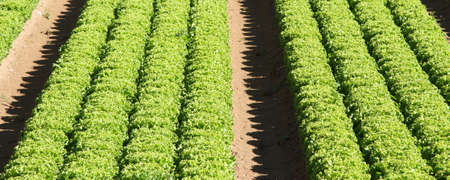 agricultural area: intensive cultivation of green salad in agricultural area 2