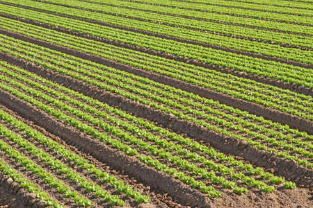 agricultural area: intensive cultivation of green salad in agricultural area 5