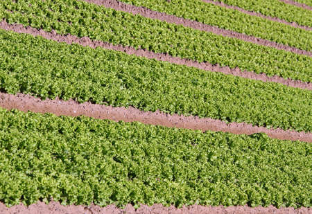 long rows of green salad grown in agricultural field 1 photo