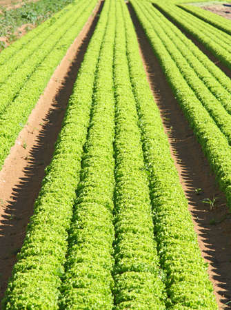 agricultural area: intensive cultivation of green salad in agricultural area
