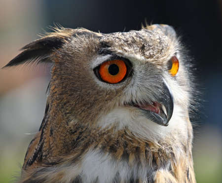 big OWL with fluffy feathers and huge orange eyes photo