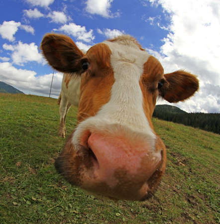 huge cow nose photographed with fisheye lens from very close photo