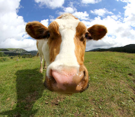 cute cow photographed with fisheye lens from very close