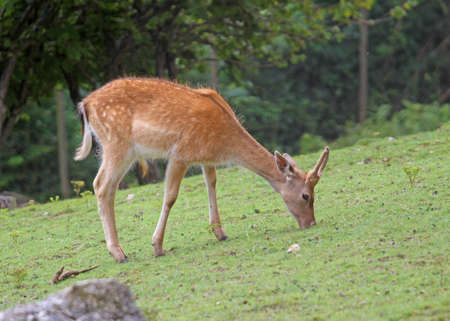 inoffensive: young Fawn while grazing the grass mountain meadow