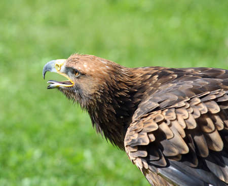 visions of america: While Great Eagle takes off with its beak open in search of prey