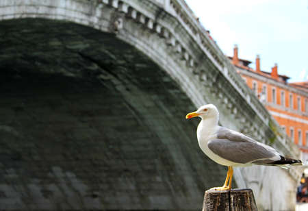 rialto: Great seagull and the rialto bridge in Venice