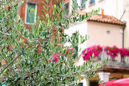 jewish houses: olive tree in the square of the Jewish ghetto of Venice in Italy
