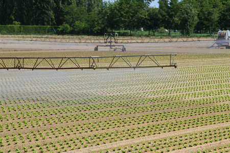 large intensive irrigation in vegetable field in summer