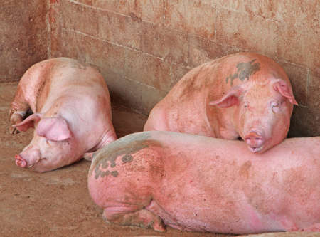 sty: pink pigs in the sty of the farm in the countryside