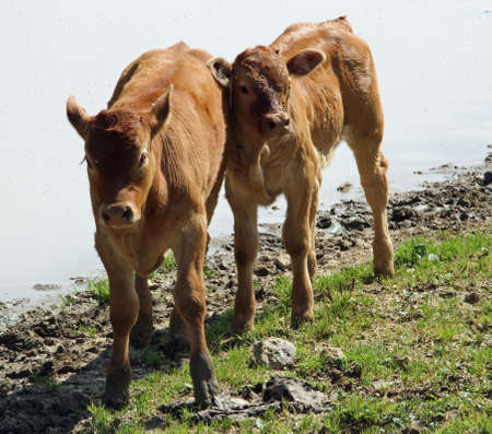 two young cows grazing in the mountains photo