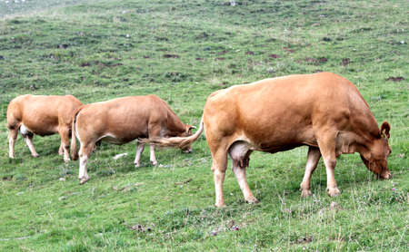 three large cows grazing in the mountains in summer photo