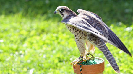 Peregrine Falcon perched on a trestle during a demonstration of birds of prey Stock Photo