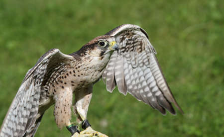 falco: young Peregrine Falcon with outstretched wings to fly