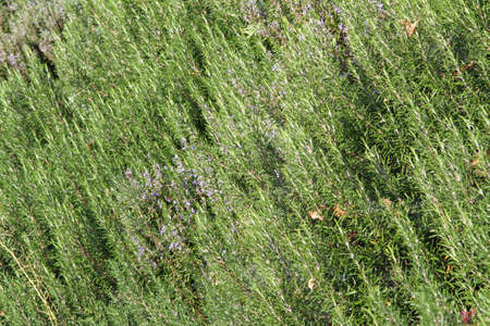 great Rosemary plantation in southern Italy Reklamní fotografie