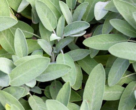 herbolaria: Wild Sage Hojas verdes para dar sabor a las recetas de la cocina mediterr�nea