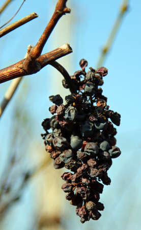 cluster of raisins hanging on the branch of vineyard in autumn