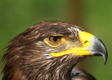 Great Eagle with yellow hooked  beak and the watchful eye