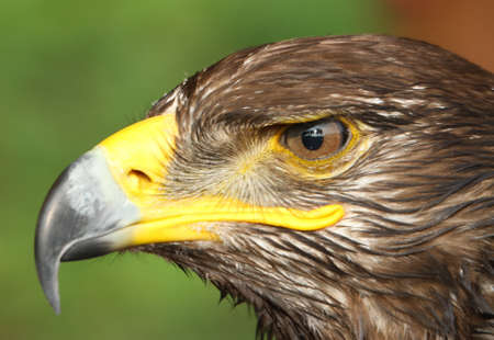 watchful: Great Eagle with yellow hooked  beak and the watchful eye