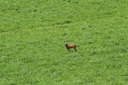 young Deer run free on the mountain green meadow Stock Photo