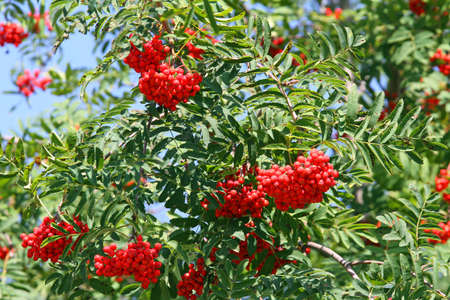 rosales: Mountain ash Sorbus Bush with large red berries but poisonous to humans Stock Photo