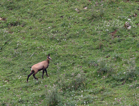 fearful young mountain CHAMOIS while grazing the meadow grass photo
