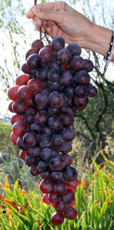 lambrusco: giant bunches of grapes hand held by the girl Stock Photo
