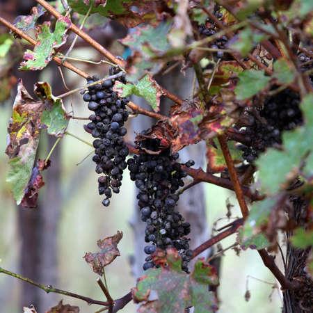 sultanas: bunch of raisins in the vineyard in autumn Stock Photo