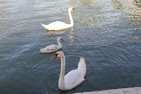 wallowing: pond with Swan and ugly duckling that wallowing in water Stock Photo