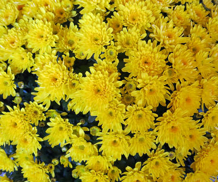 2 november: flowers yellow chrysanthemums for the feast of the dead on 2 November Stock Photo